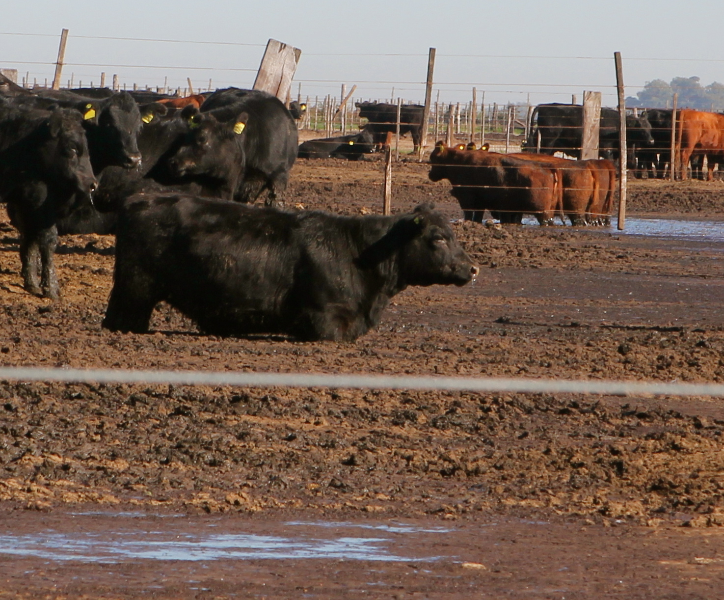 cows in thick mud feedlot 6