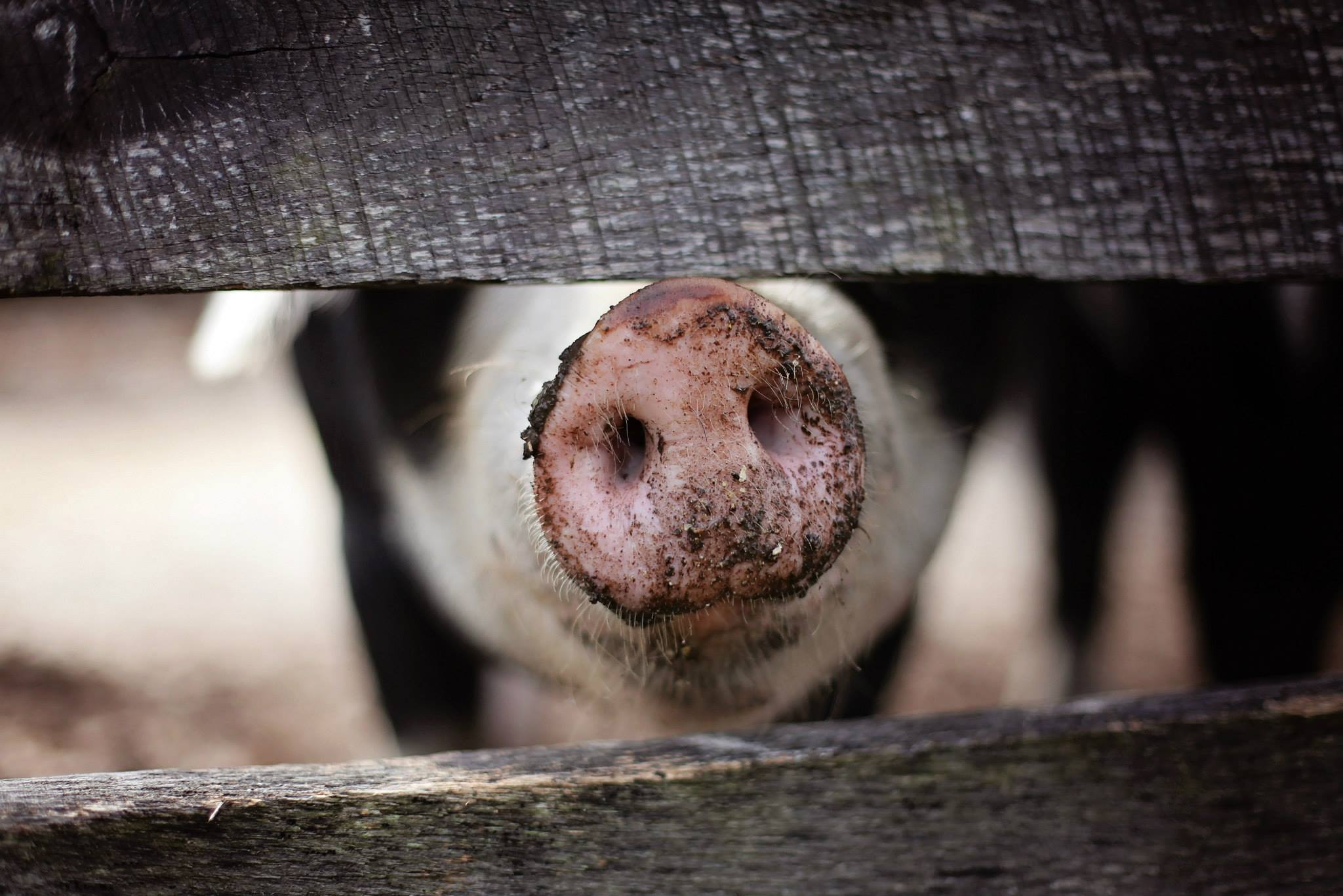 The OIE's standards aim to improve the welfare of farm animals