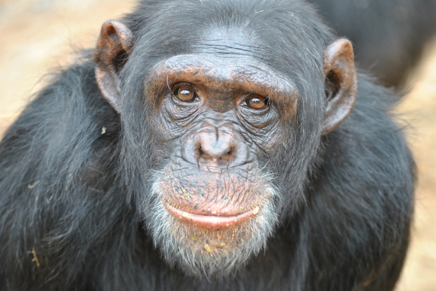 U.S. Move to Retire all Government-Owned Research Chimpanzees: A Big Step in the Right Direction, but Still a Long Journey Ahead