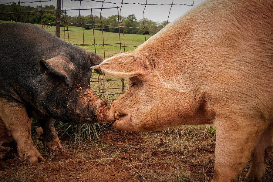 This Little Piggy: A Few Things Animal Advocates Should Know About Pigs