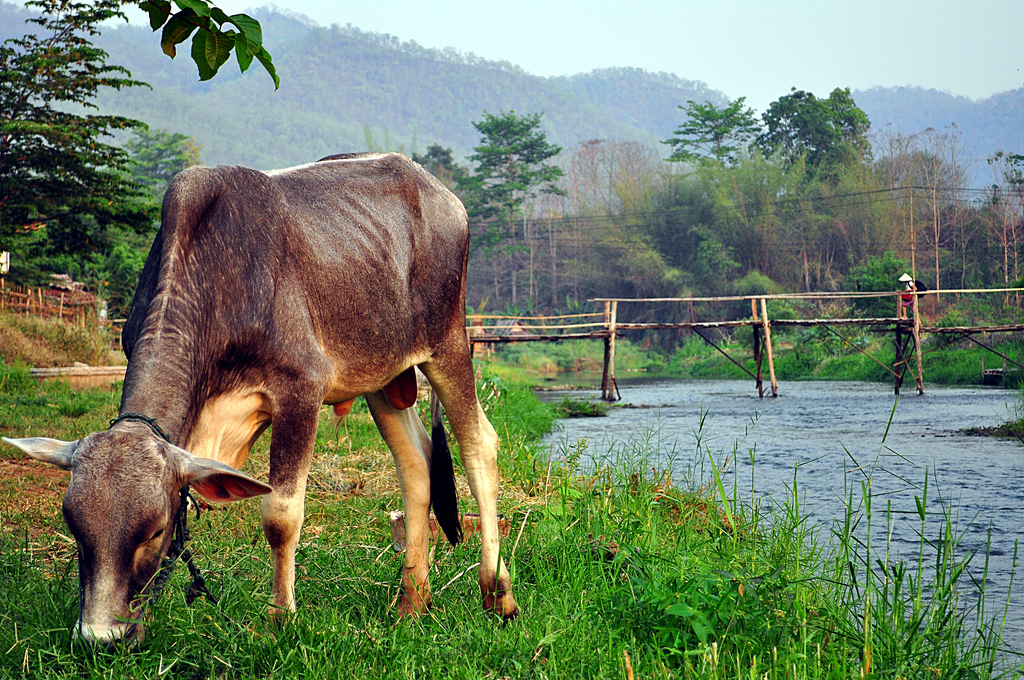 cow grazing river
